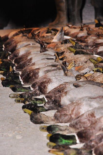 tableau de chasse canard